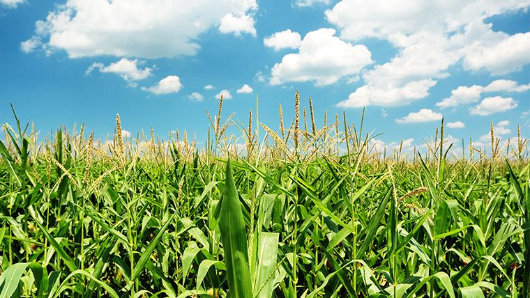 Ventos favoráveis para o milho: segunda safra deve bater recorde