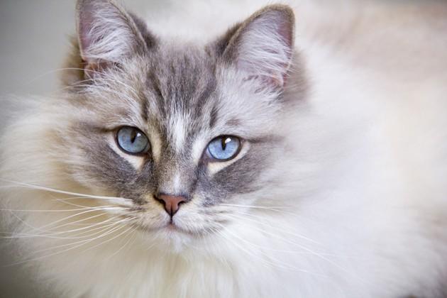 Você pagaria R  6.000 num gatinho  Pois saiba que os preços podem ficar  ainda mais altos, dependendo da criação e dos cuidados que o animal recebe. cf8e6f79b7
