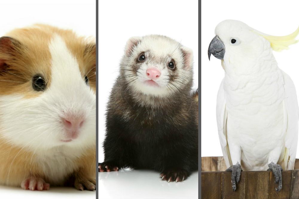 Frases Com Animais De Estimação Para Facebook: 10 Animais Exóticos Que Podem Ser Pets